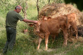 vacca rossa 2